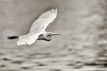 black-and-grey-egret-fligh-2
