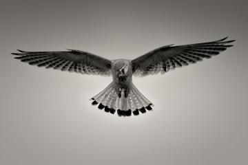 black-and-grey-nankeen-kestrel