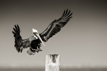 black-and-grey-pelican