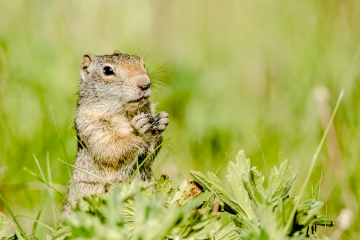 uinta-ground-squirrel-yellowstone-retofuerst-photography