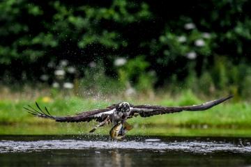 osprey-retofuerst-photography-2