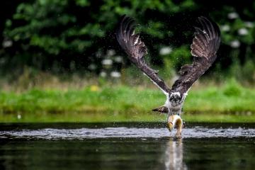 osprey-retofuerst-photography-3