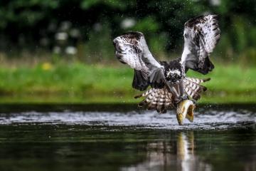 osprey-retofuerst-photography-4
