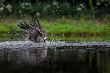 osprey-retofuerst-photography-5