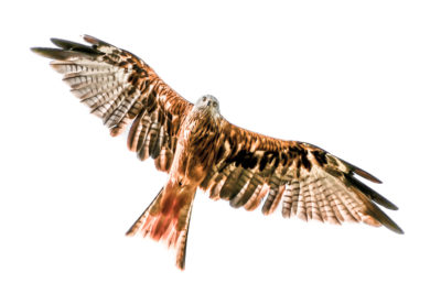 some facts about diurnal birds of prey