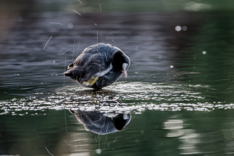 coots are awesome