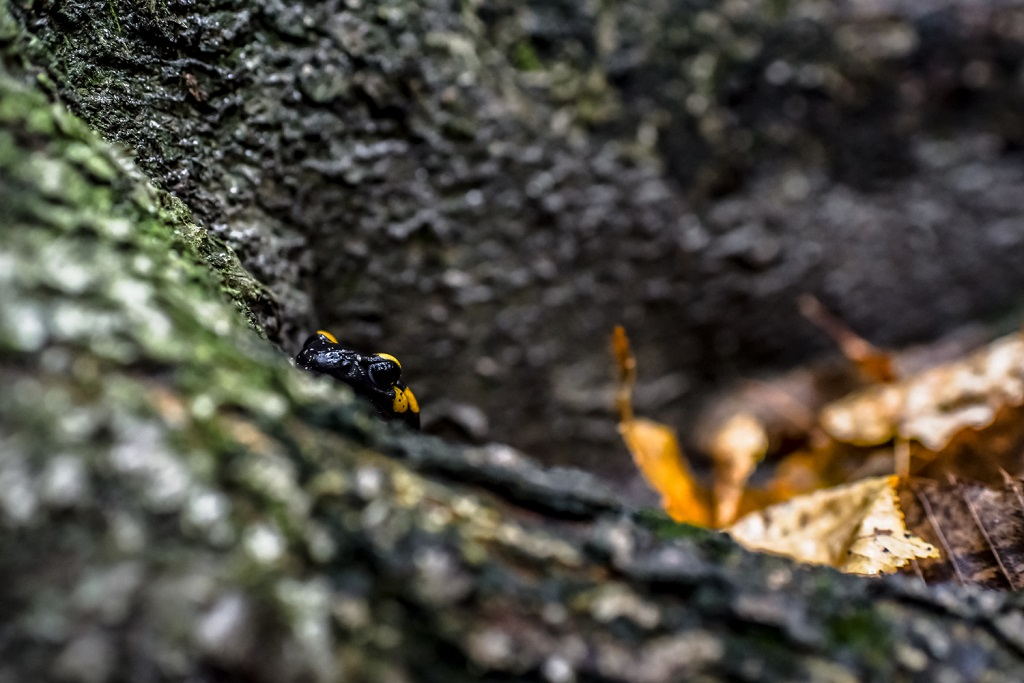 Fire salamander are awesome