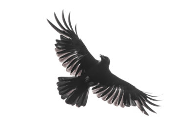 raven and crow symbolism