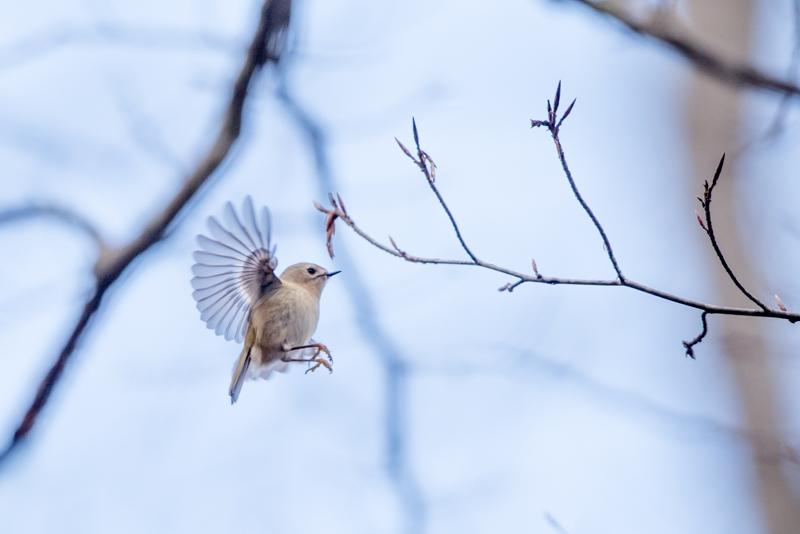 featherweight birds
