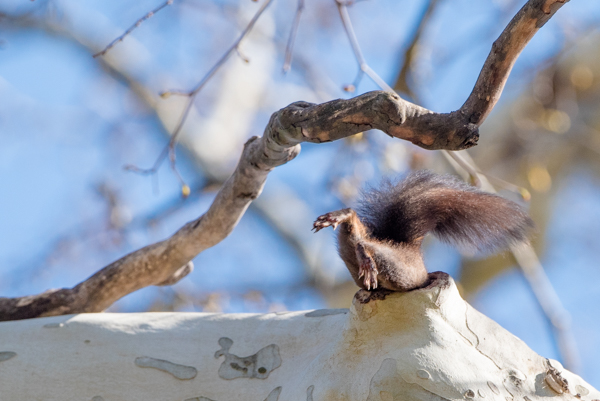 squirrel in bratislava