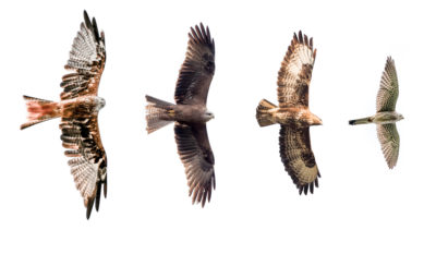 Common birds of prey