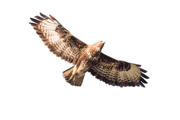 common birds of prey