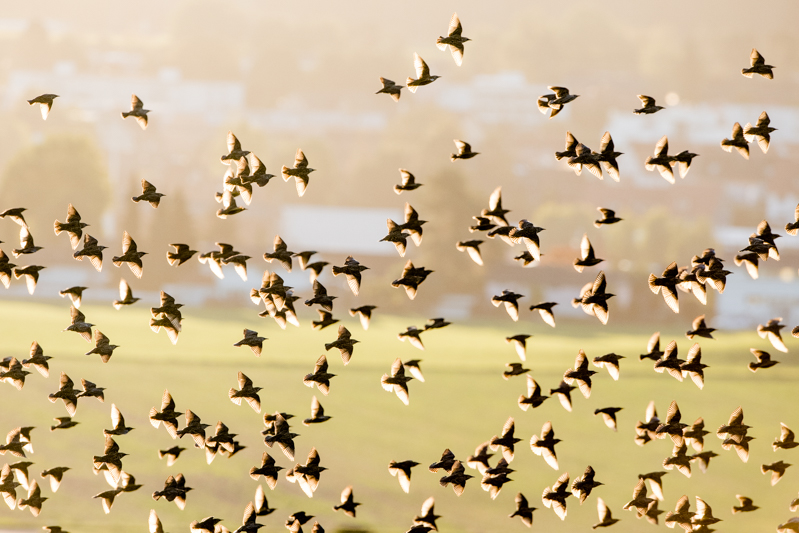 flocks of starlings in flight