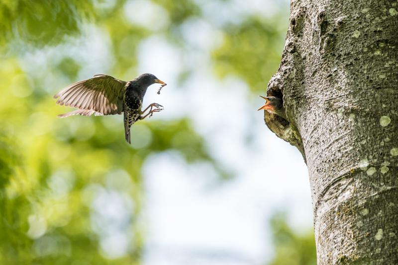 Starling feeding its chick