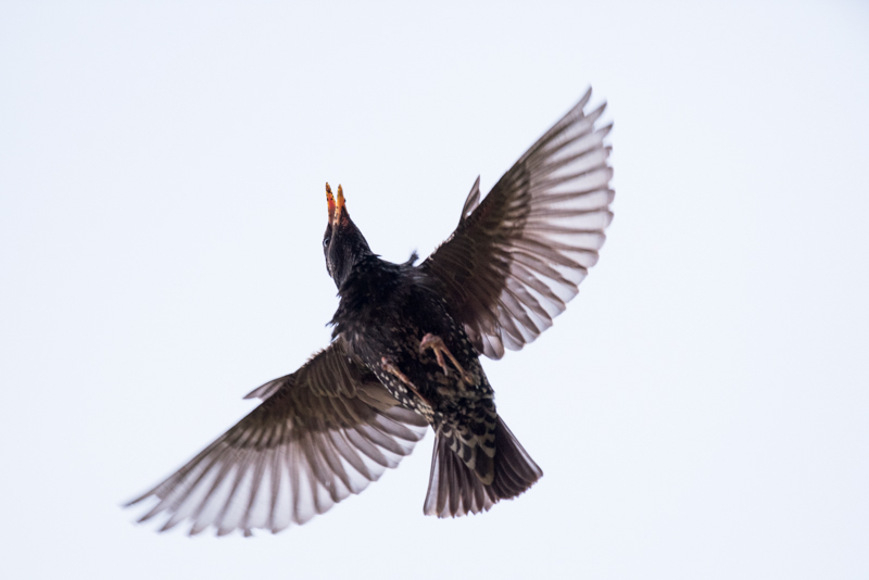 Isolated starling in flight