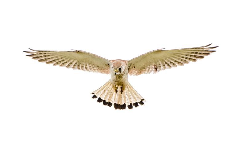isolated bird on white background