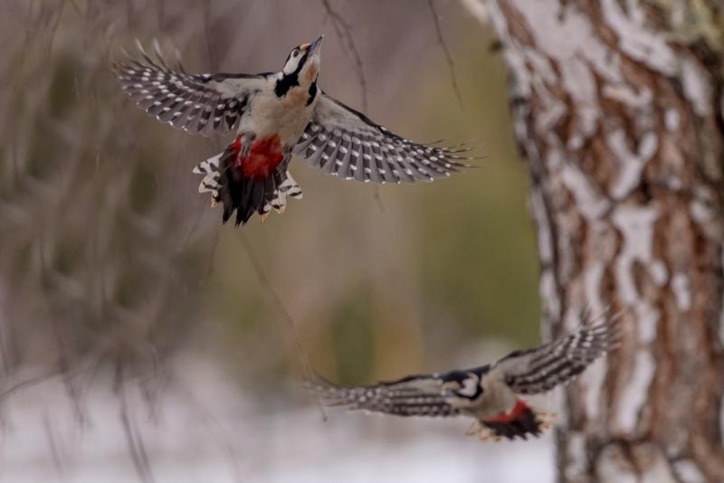 woodpeckers in flight