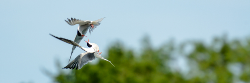 common tern buy images