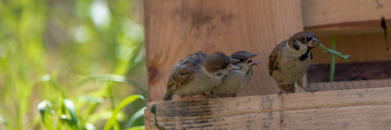 sparrow feeding chicks buy images