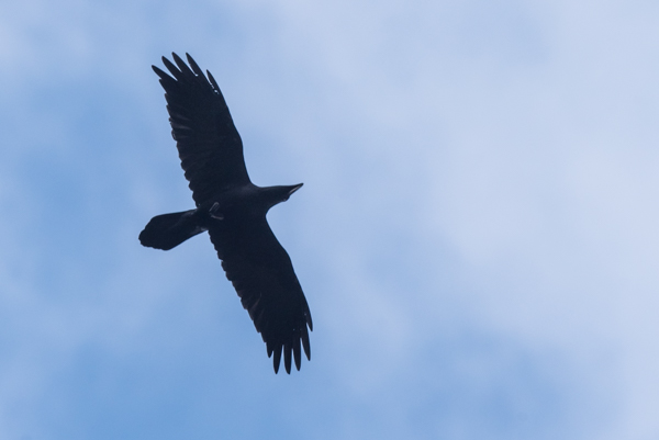 raven fly by