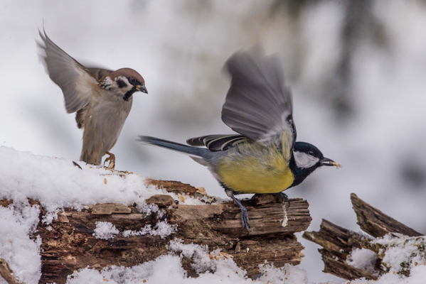sparrow chasing great tit