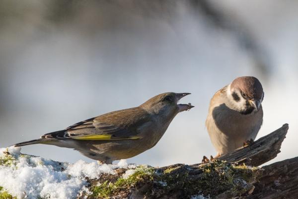 green finch sparrow