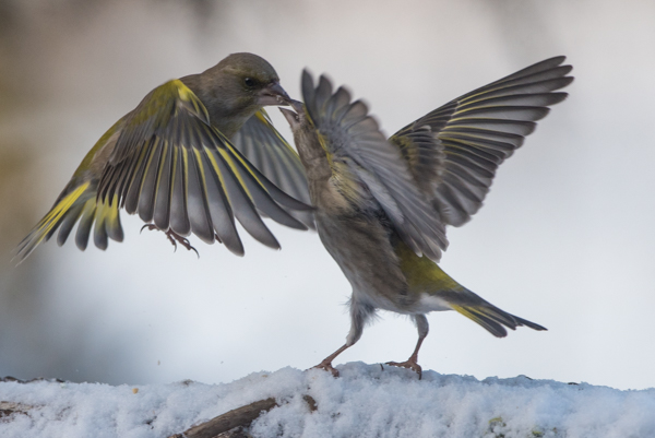 green finches fighting