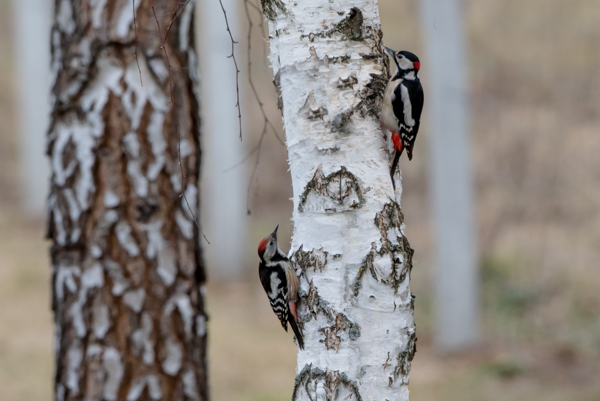 great and middle spotted woodpecker