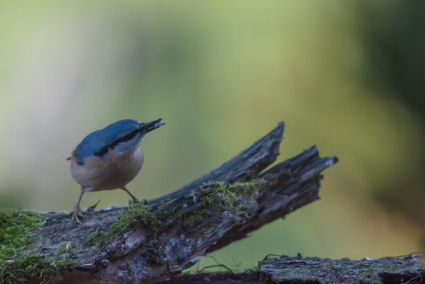 Nuthatch winter garden bird