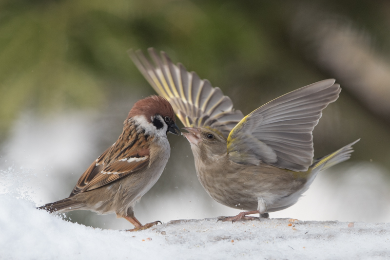 green finch and sparrow