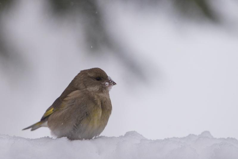 female green finch