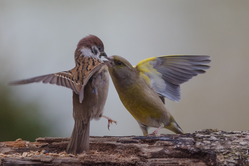Green finch and tree sparrow