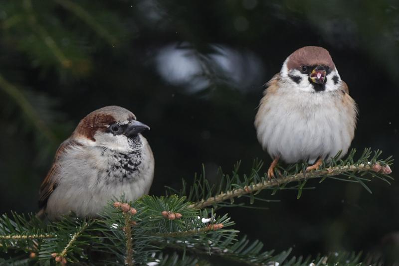 Tree sparrow and house sparrow