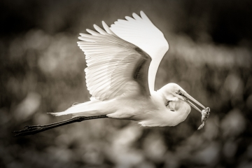 black-and-gray-egret