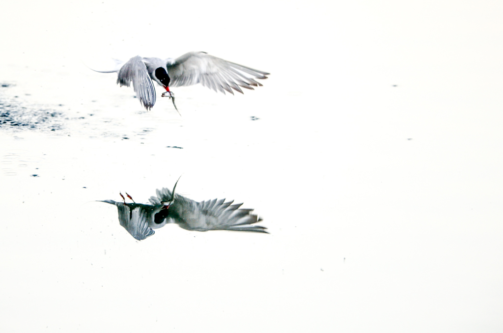 going through the archive – common tern
