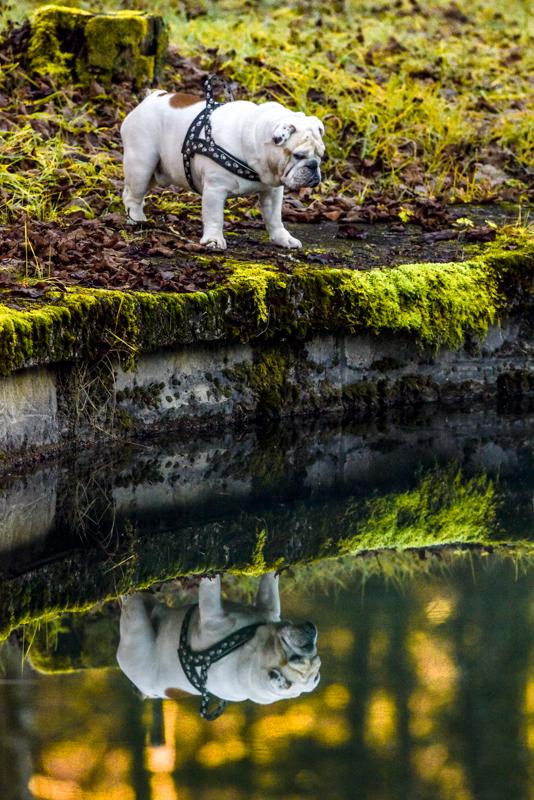 bulldog reflection