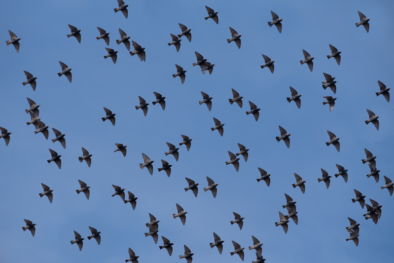 flocks of starlings in flight