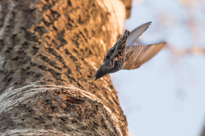 homecoming starling
