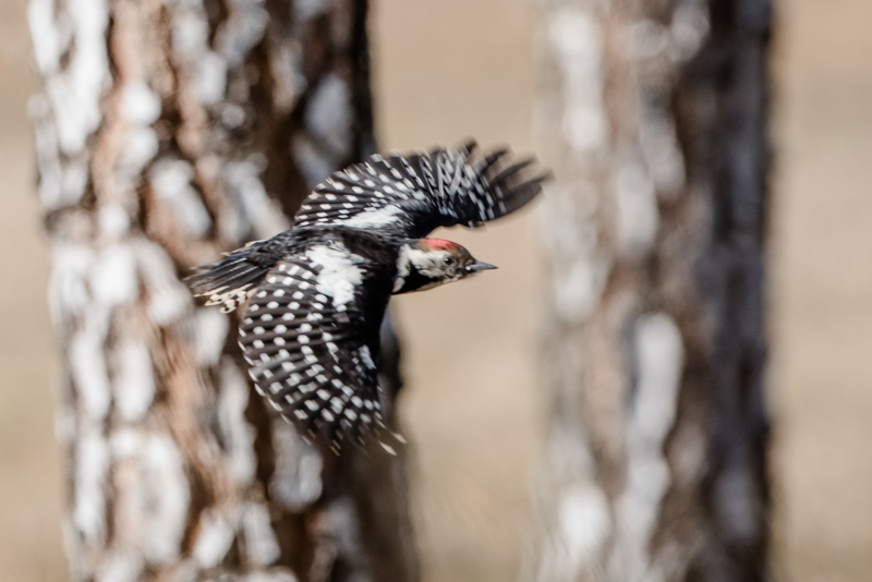 woodpeckers in flight