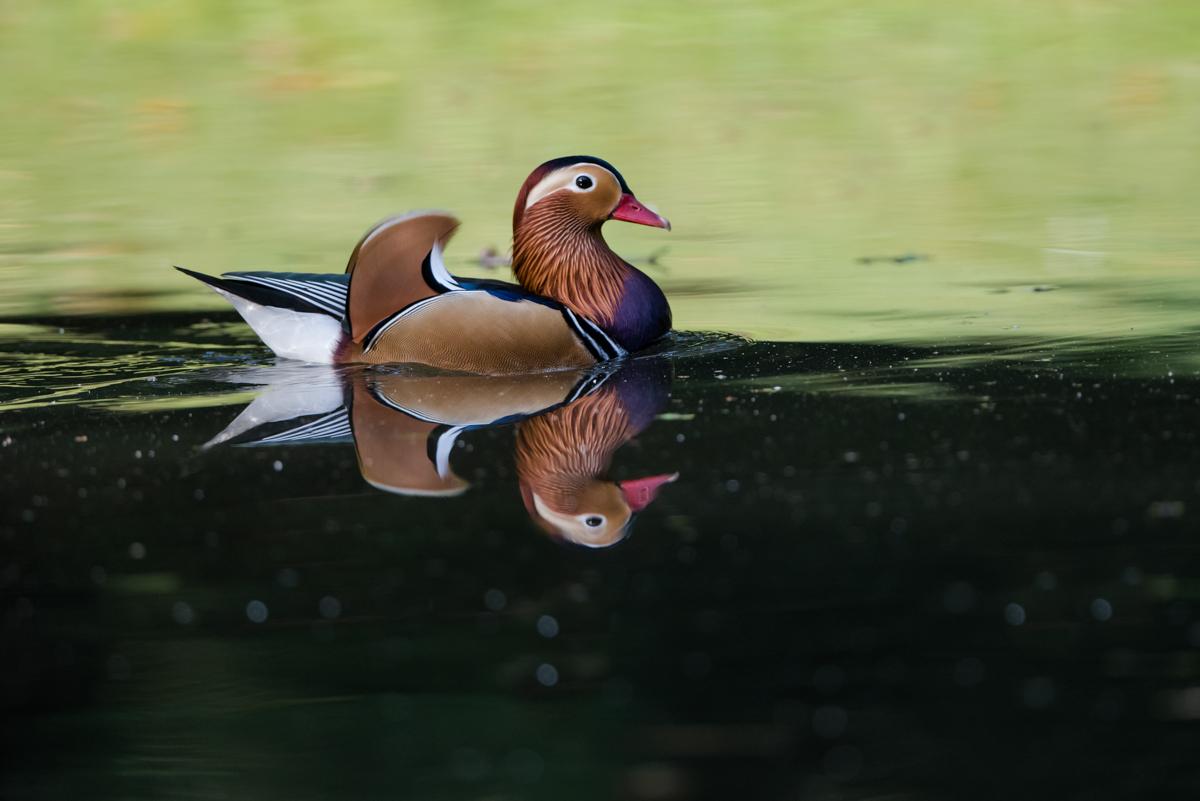 mandarin duck reflection