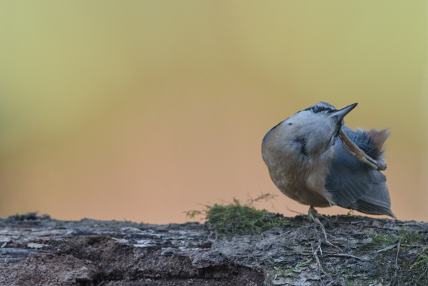 nuthatch scratching