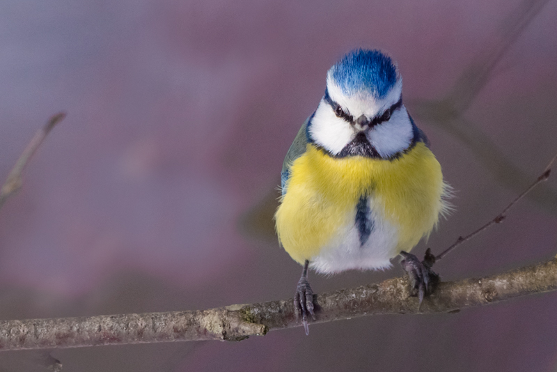Blue tit perching