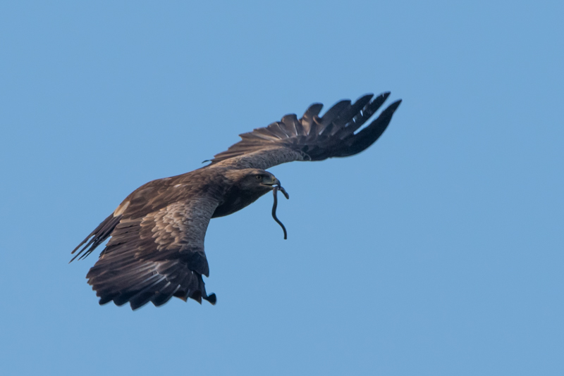 lesser spotted eagle - birds spotted in april