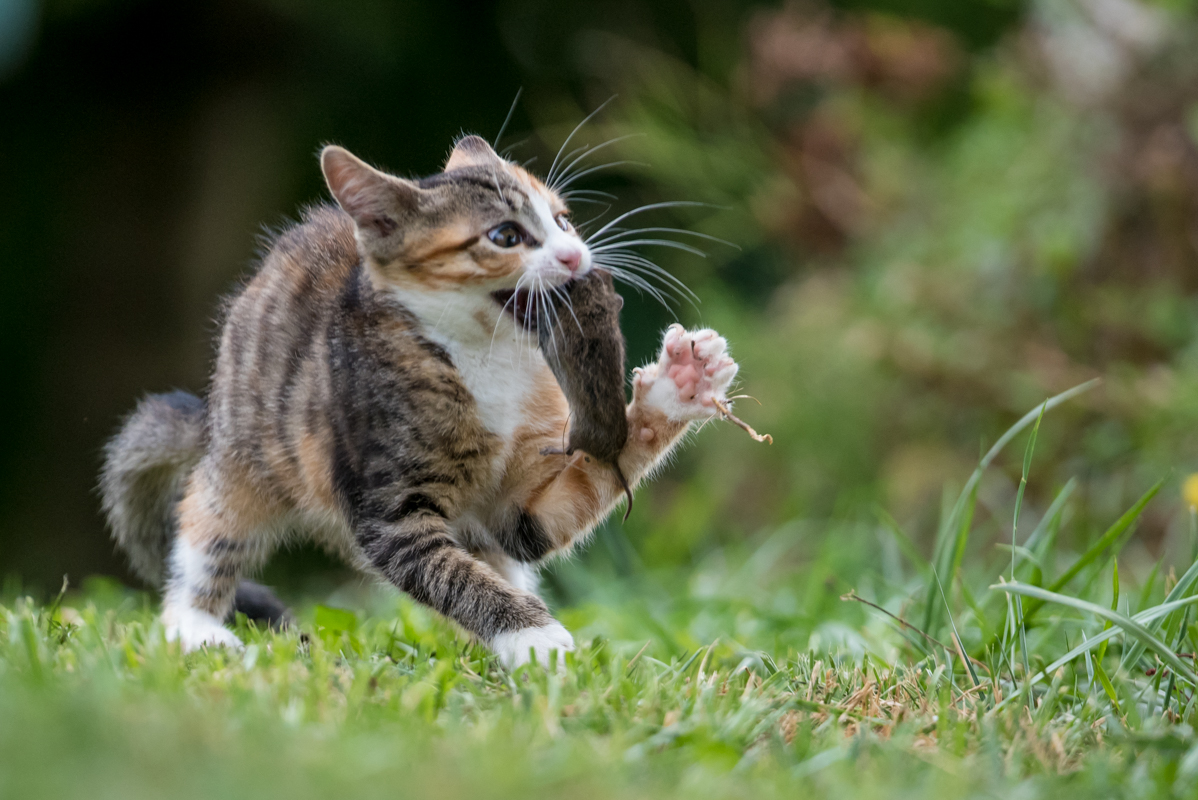 a little cat playing with a mouse
