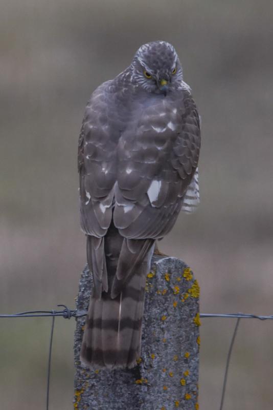 sparrowhawk back