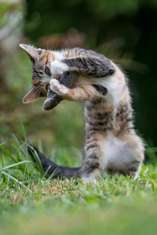 cat playing with mouse