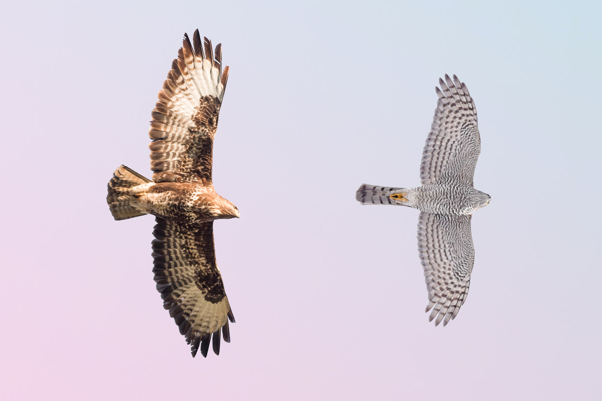 Difference between Common buzzard and Sparrowhawk