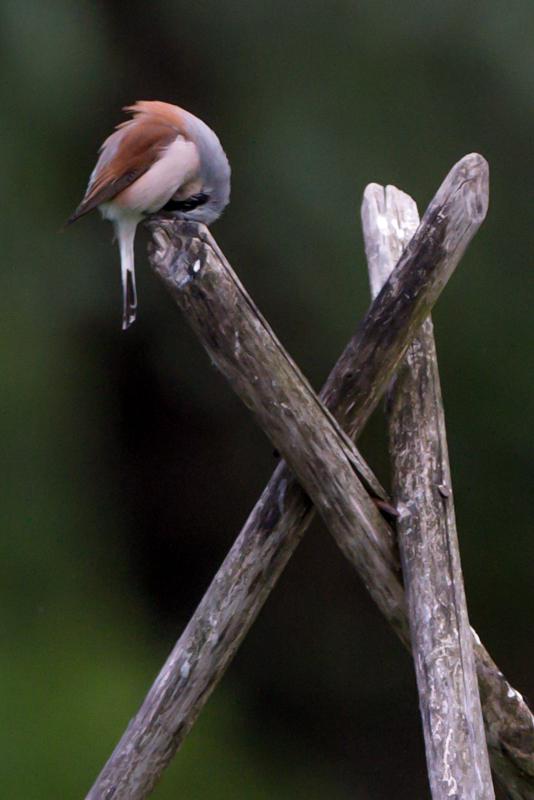 red backed shrike